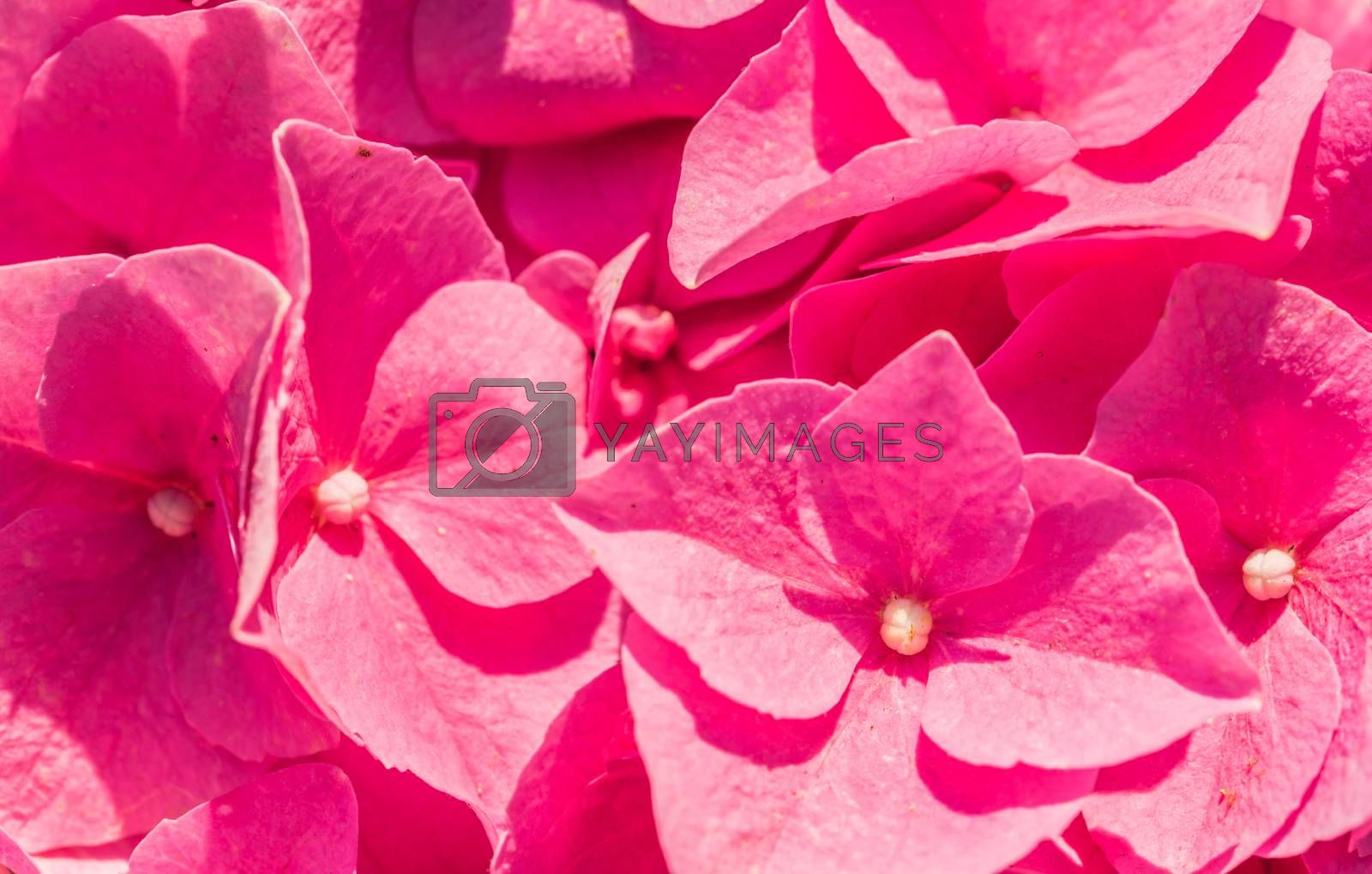 Macro of pink hydrangea blossoms covered with sunlight