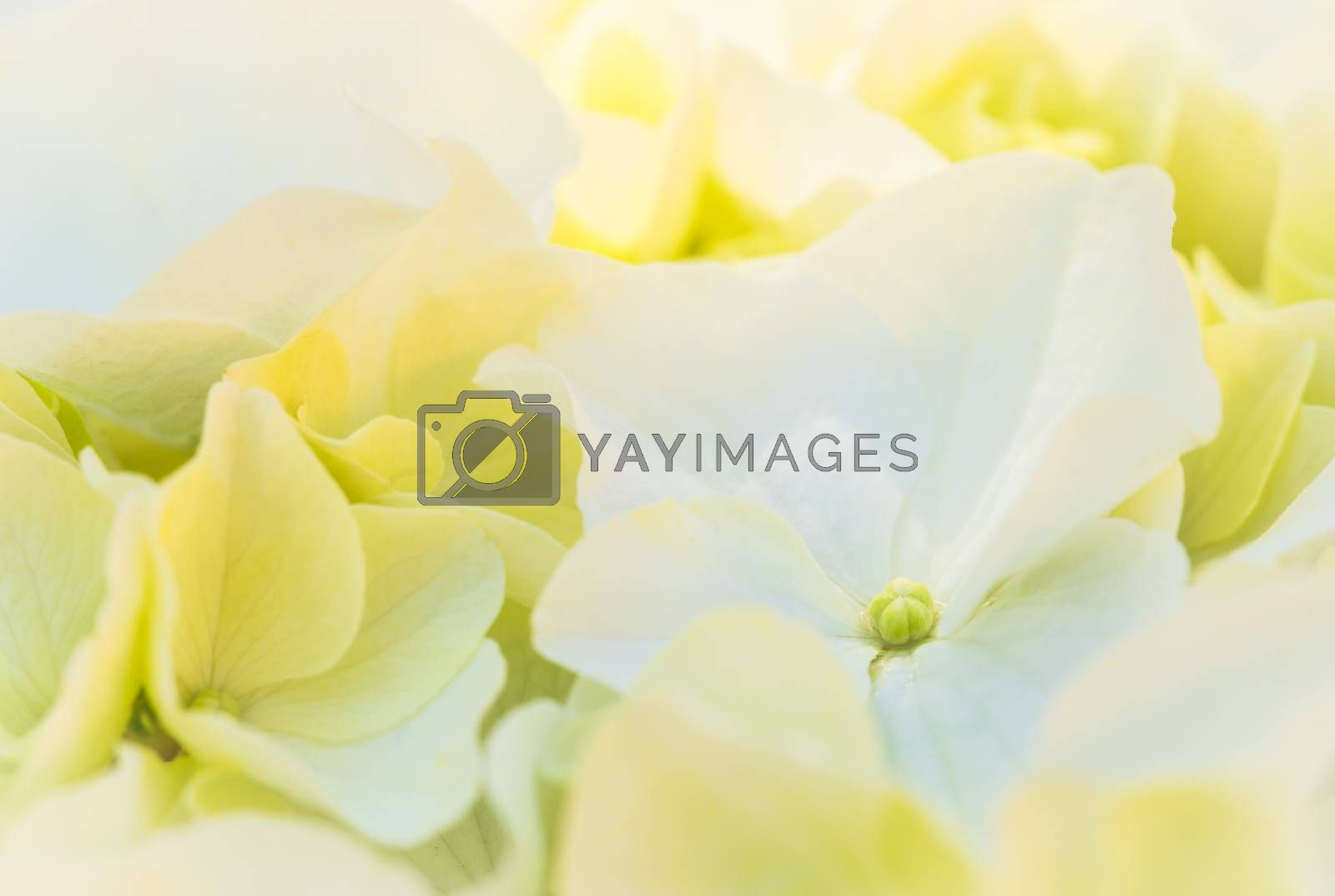 Flowers background with white hydrangea blossoms, closeup