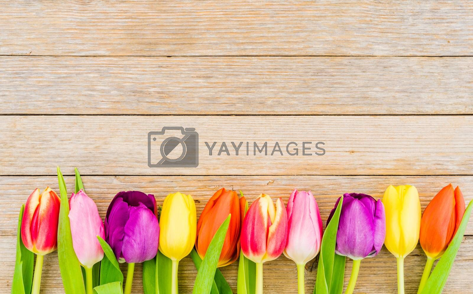 Fresh multicolored tulips border on wooden background with copy space