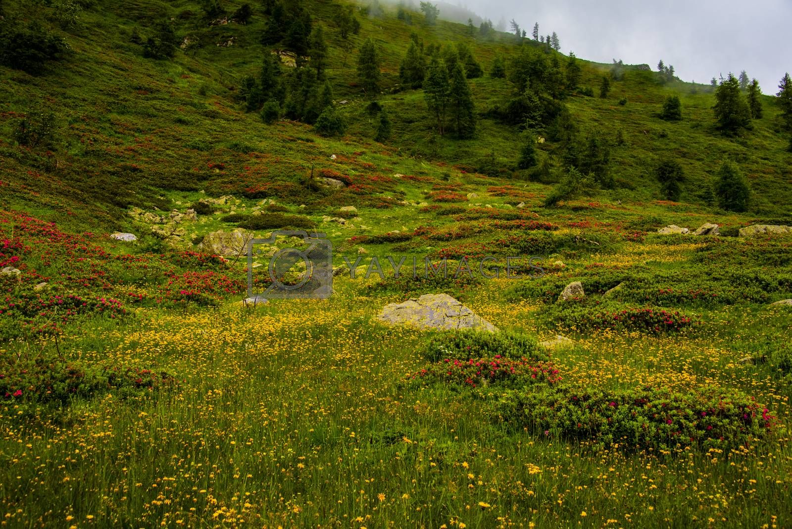 beautiful yellow and red flowers on the Lagorai meadows among the granite rocks near Lake Levico, Trento, Italy