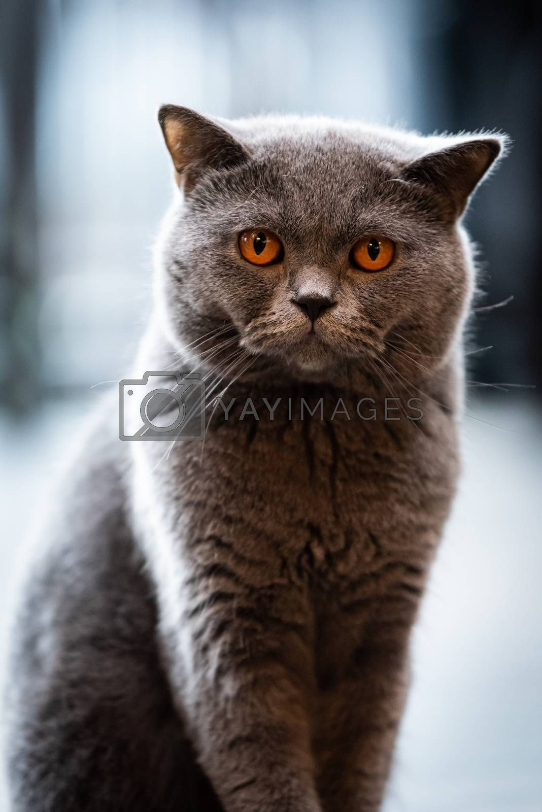 A black cat with yellow eyes in the morning. by animagesdesign