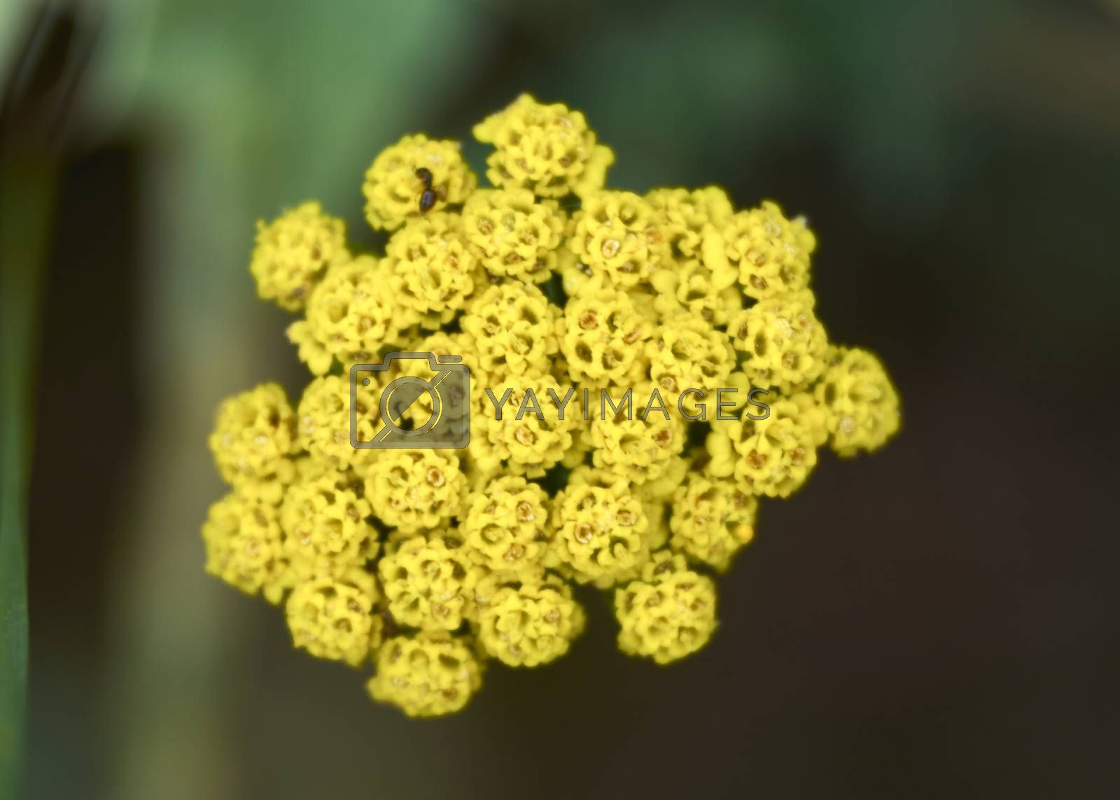 Set of small yellow flowers, macro photography, details, light, insect