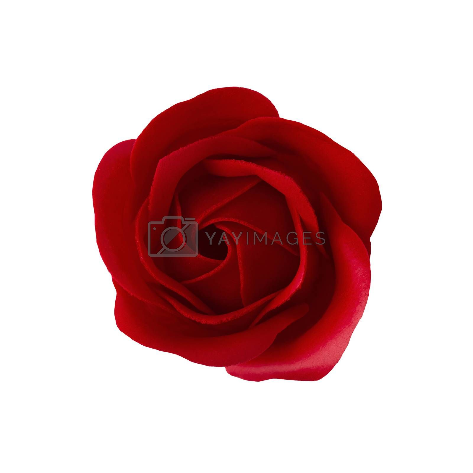 Red rose blossom isolated on white background. Top View.