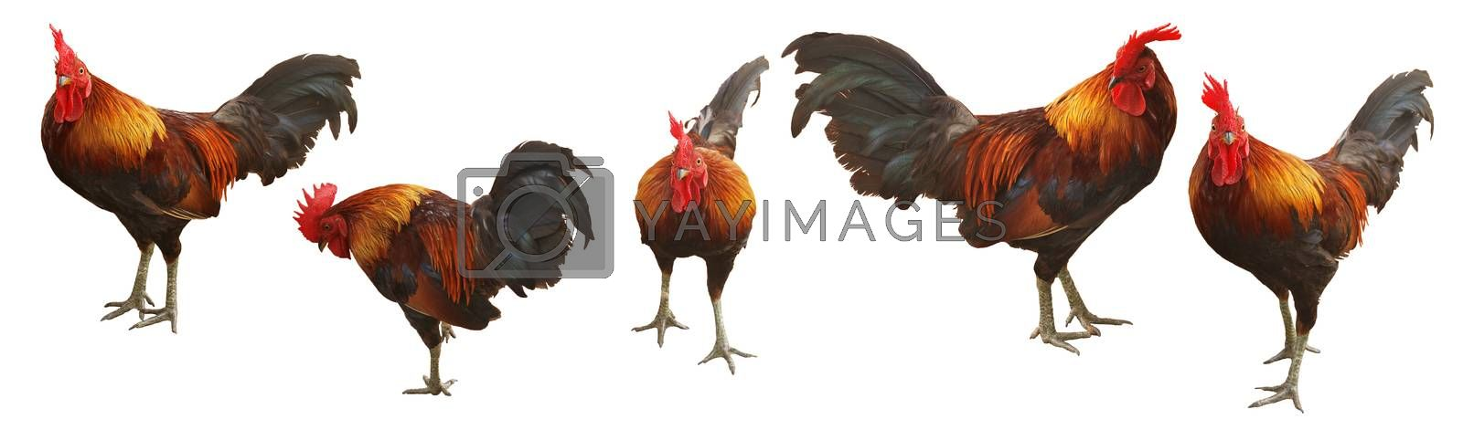 Bantam Chad, Thai chicken breed on white background. (With Clipping Path).