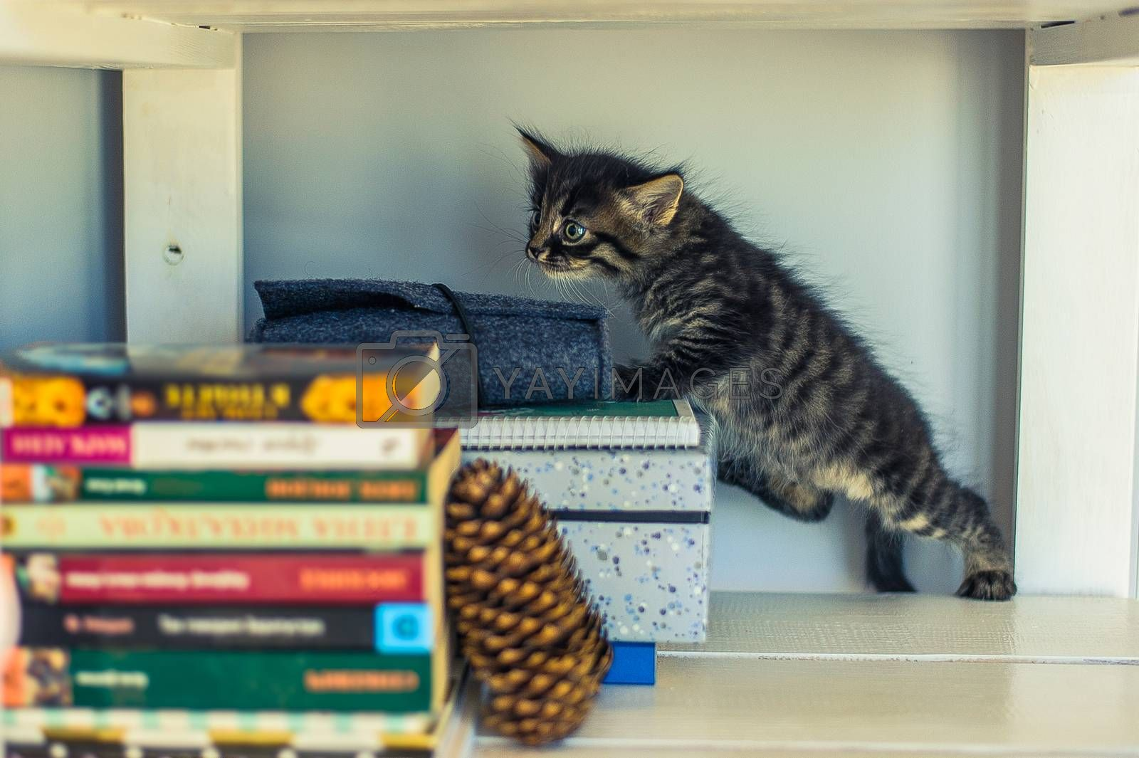 gray striped kitten sniffing books on a shelf with a fir cone