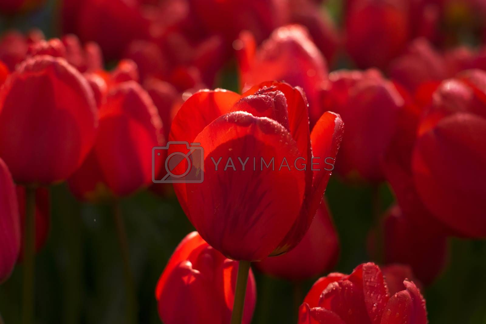 Water drop on red tulip's