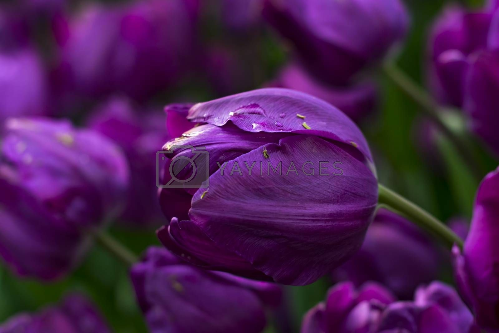 Beautiful purple tulips with water droplets for background