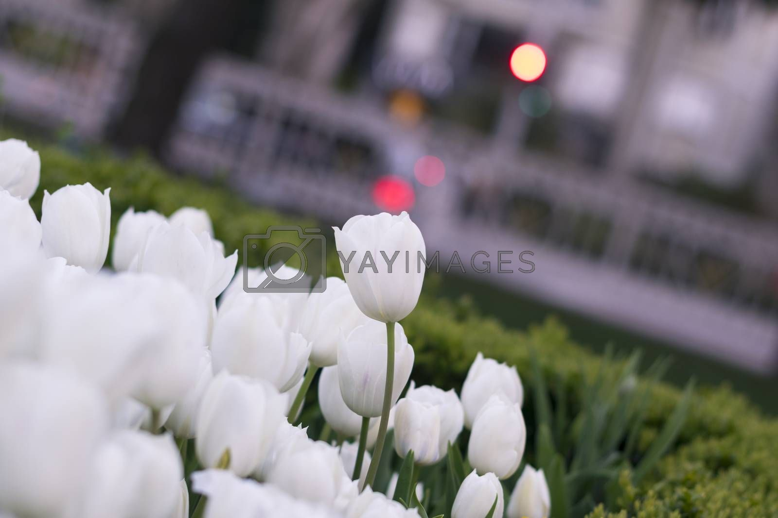 Beautiful white tulips with bokeh for background