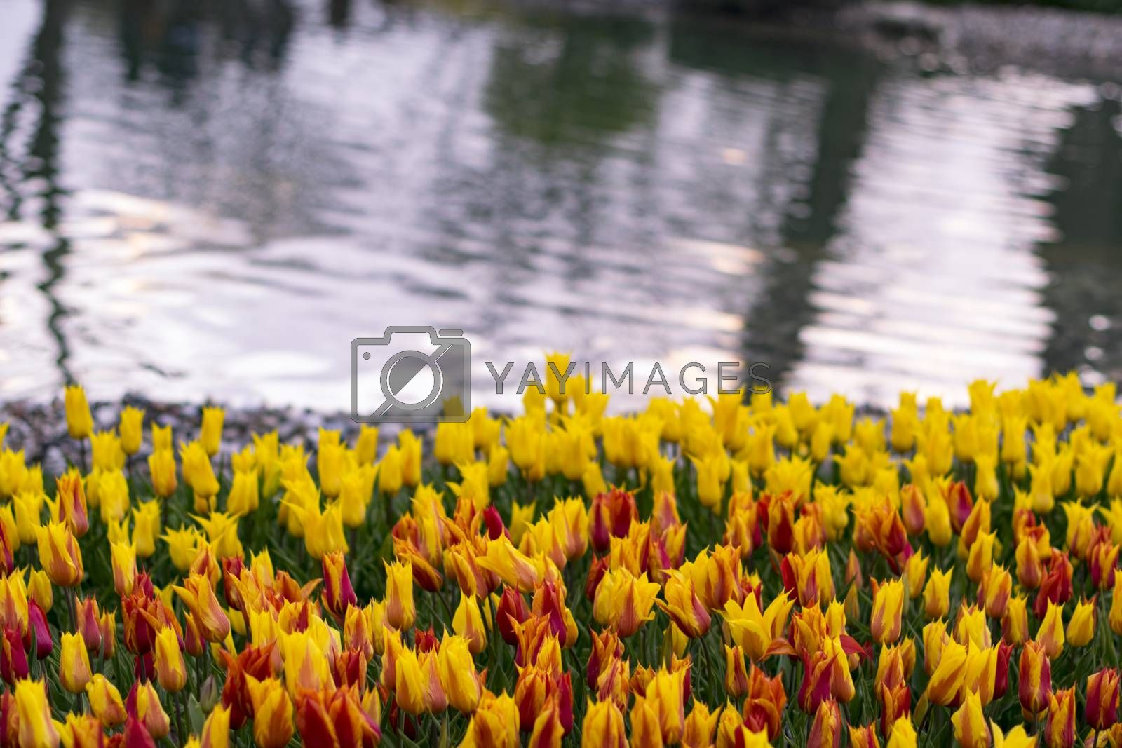 Tulip. Beautiful bouquet of tulips. colorful tulips. tulips in spring,colourful tulip.