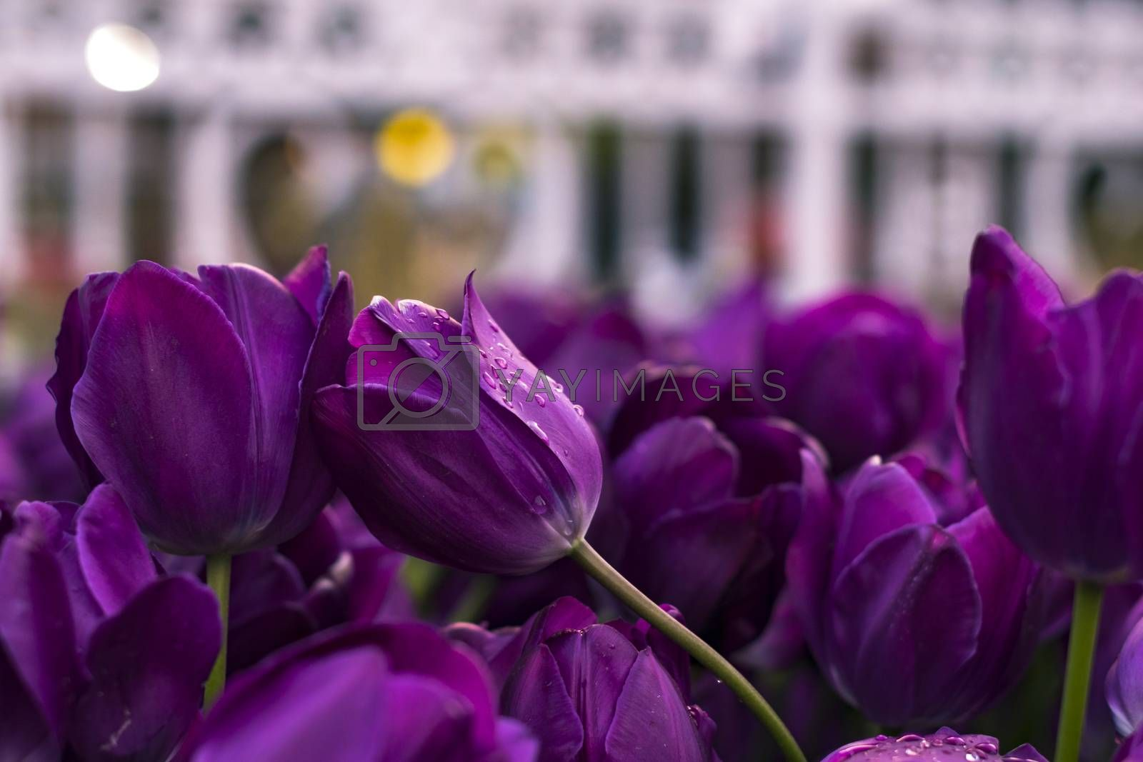 Beautiful purple tulips with bokeh for background