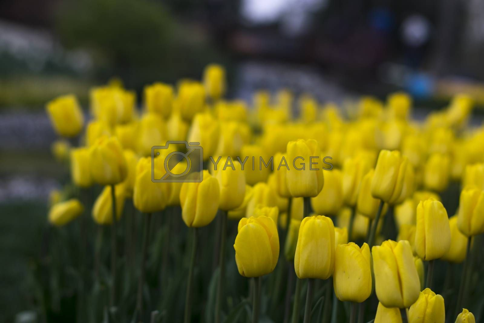 Fields on which bloom yellow tulips. Tulip field. Field with yellow tulips
