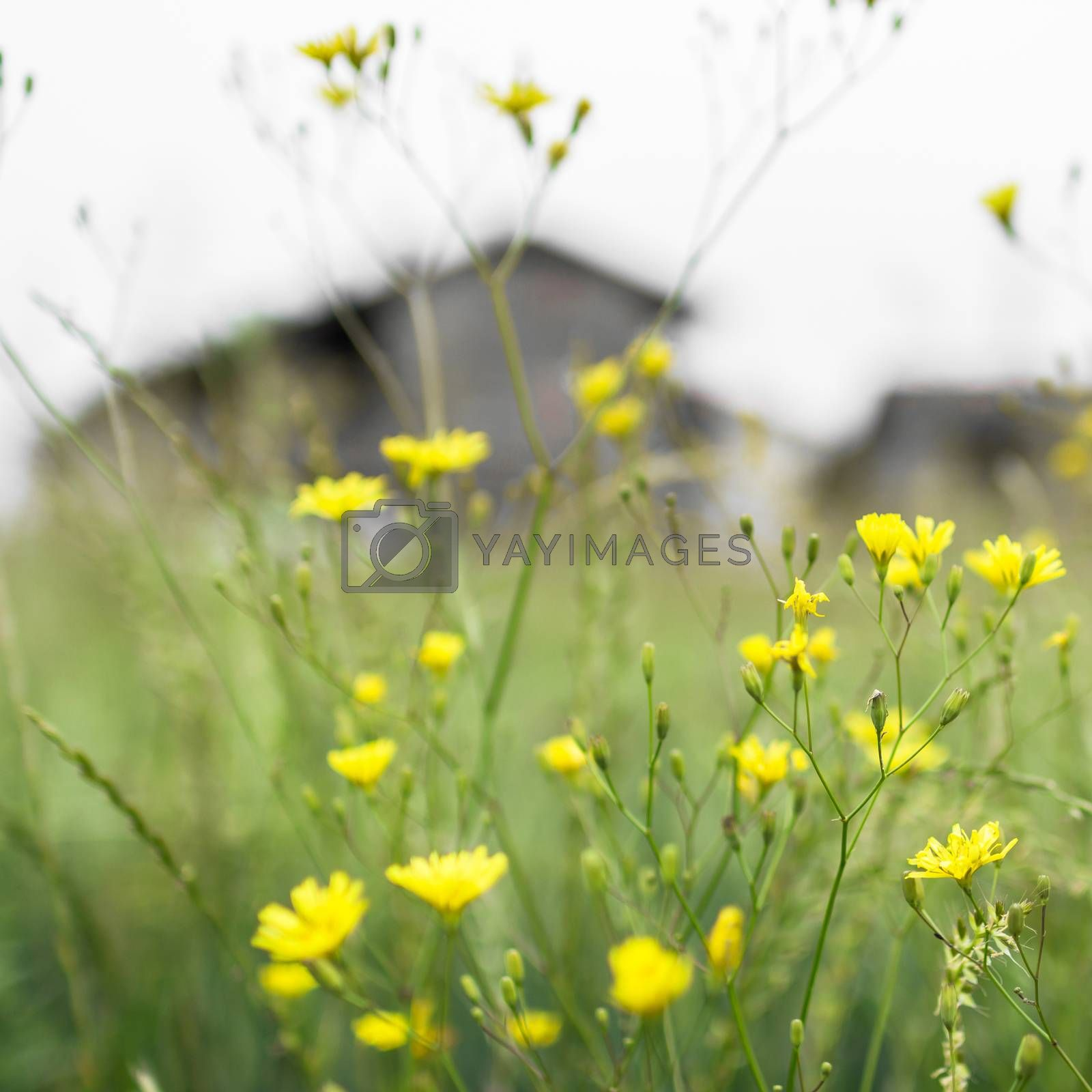 Beautiful flowers and blurred farm in the background.