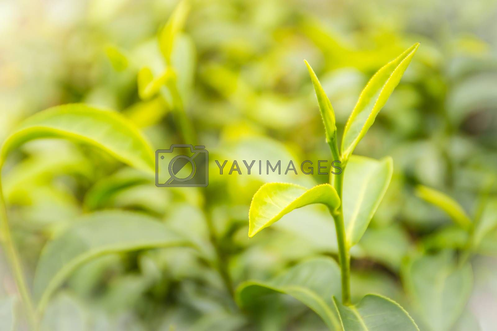 Young shoots of green tea leaves in the morning before harvesting. The green tea harvested in taste and value from the young shoots leaves is known to produce the highest quality green tea leaves. by kwhisky