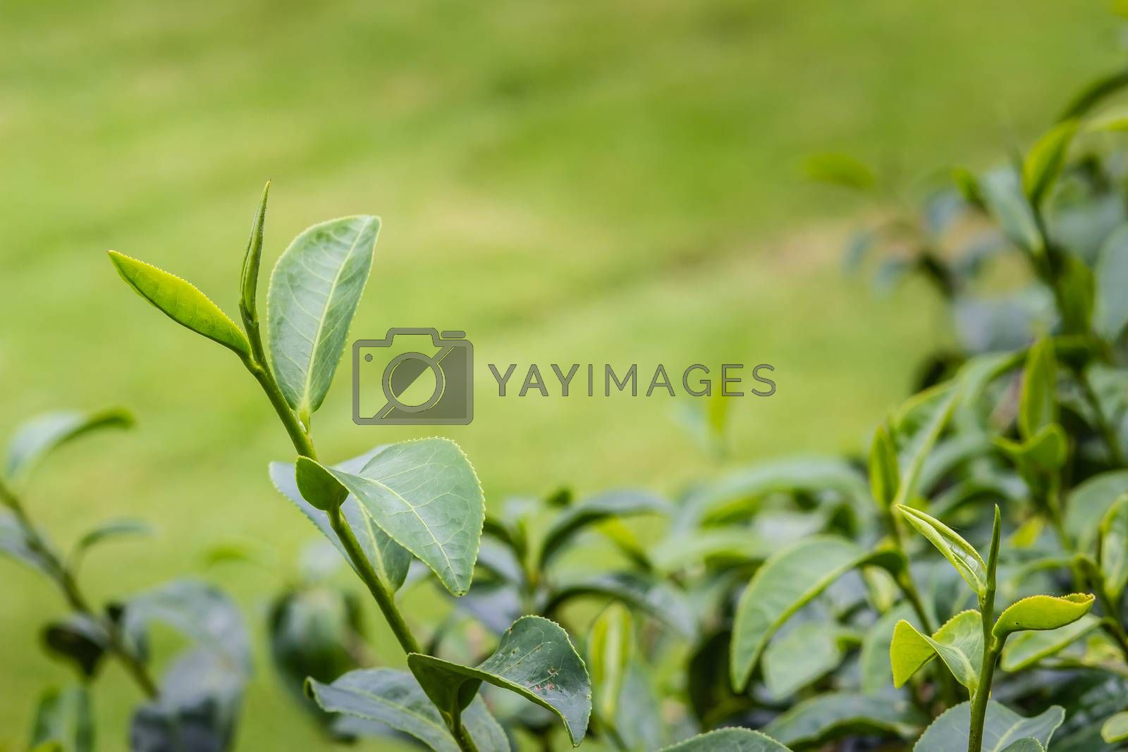 Young shoots of green tea leaves in the morning before harvesting. The green tea harvested in taste and value from the young shoots leaves is known to produce the highest quality green tea leaves.