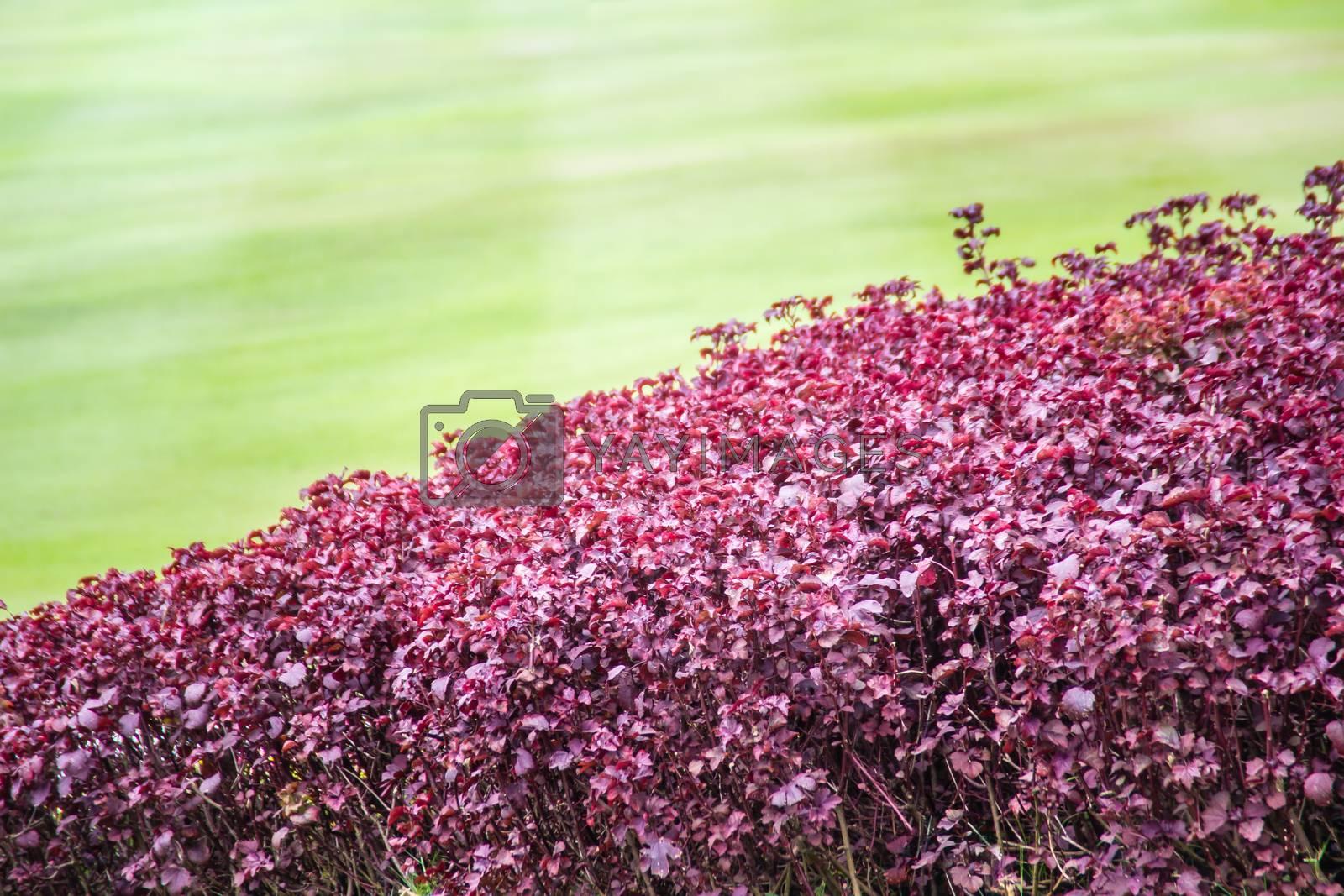 Beautiful purple leaves of Aerva sanguinolenta with green grass on background.