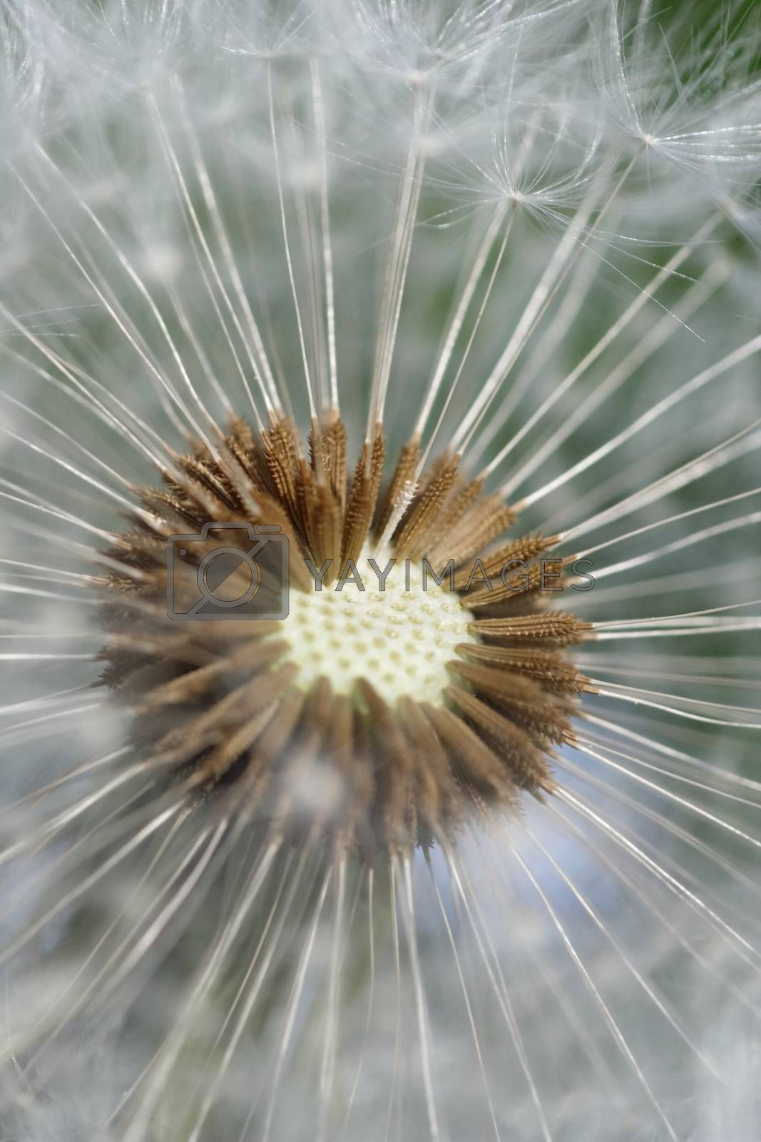 close-up of a dandelion - macro of the blossom