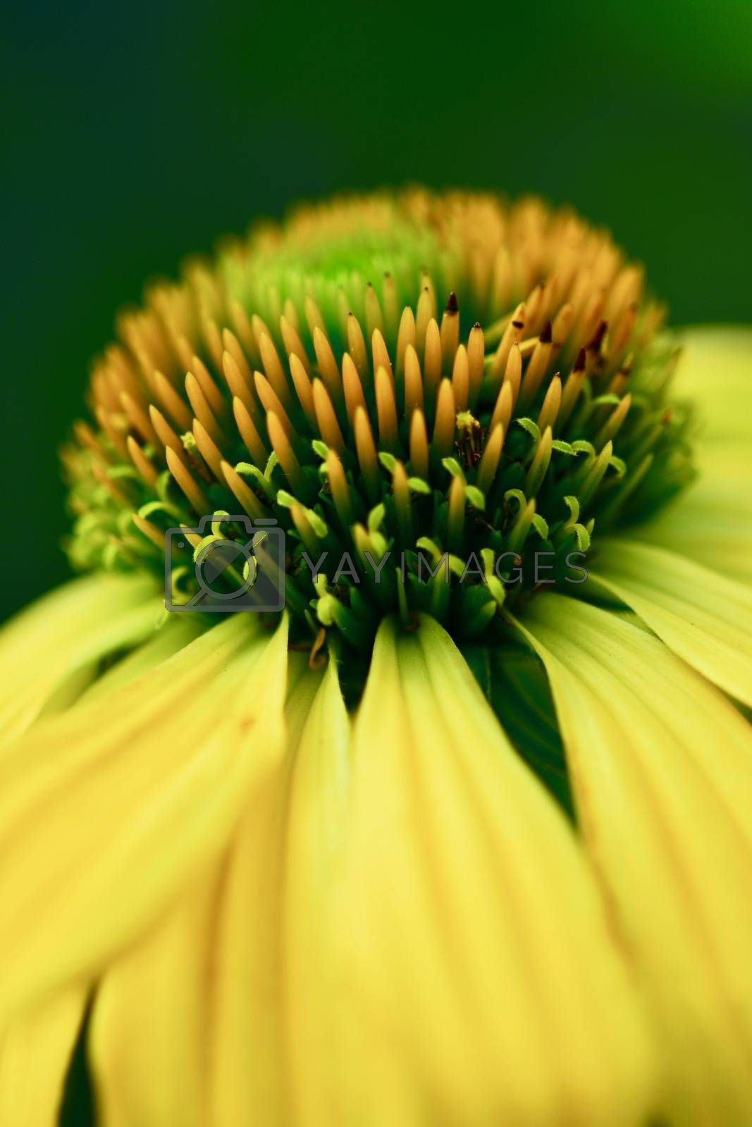 The genusEchinaceahas ten species, which are commonly calledconeflowers.