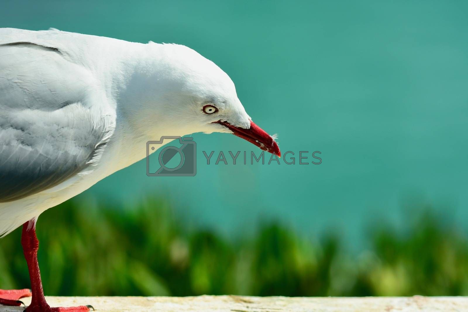 A close-up photo of a bird; mature red-beaked sea gull in natural environment