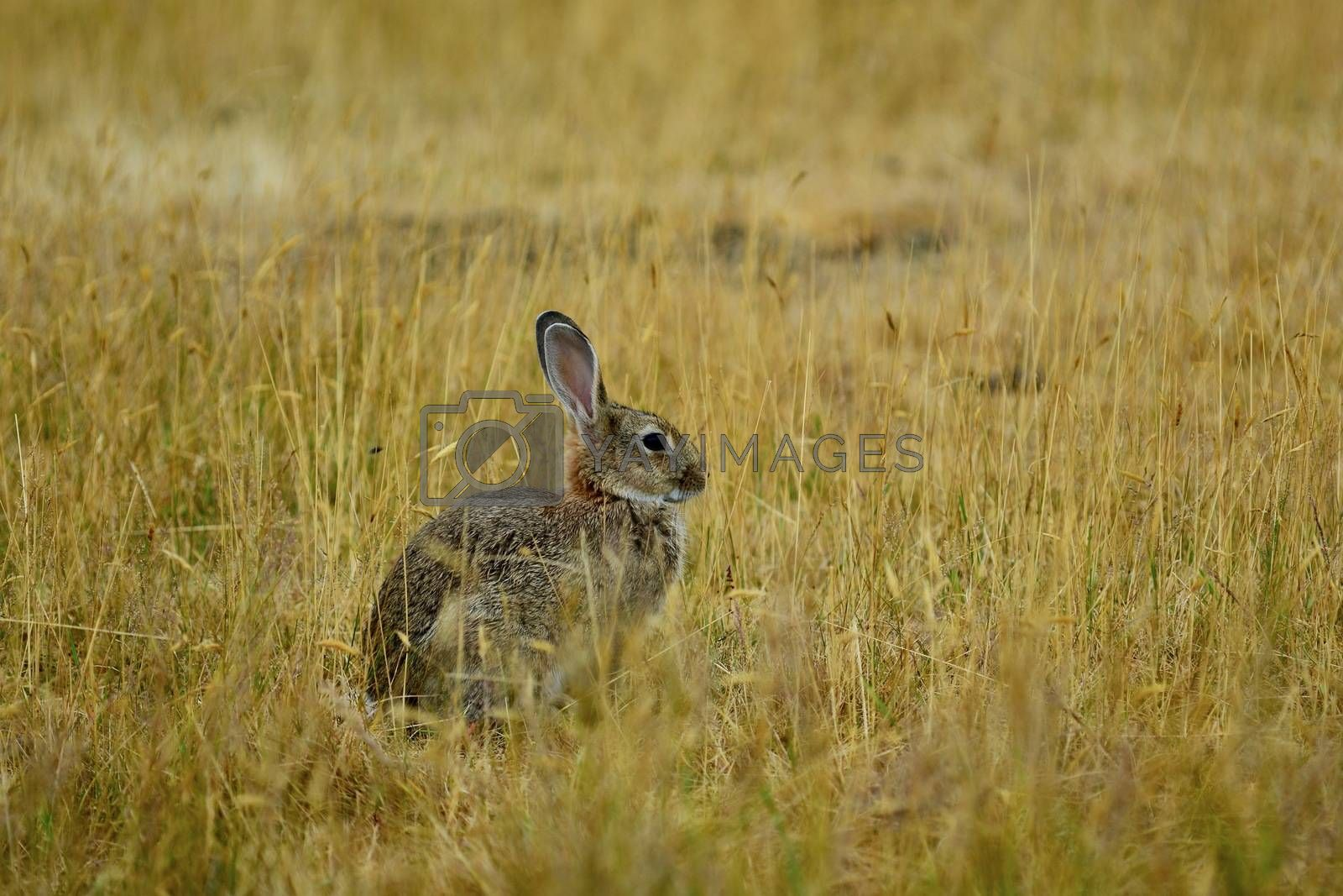 Hares are swift animals and can run up to 80 km/h (50 mph) over short distances.