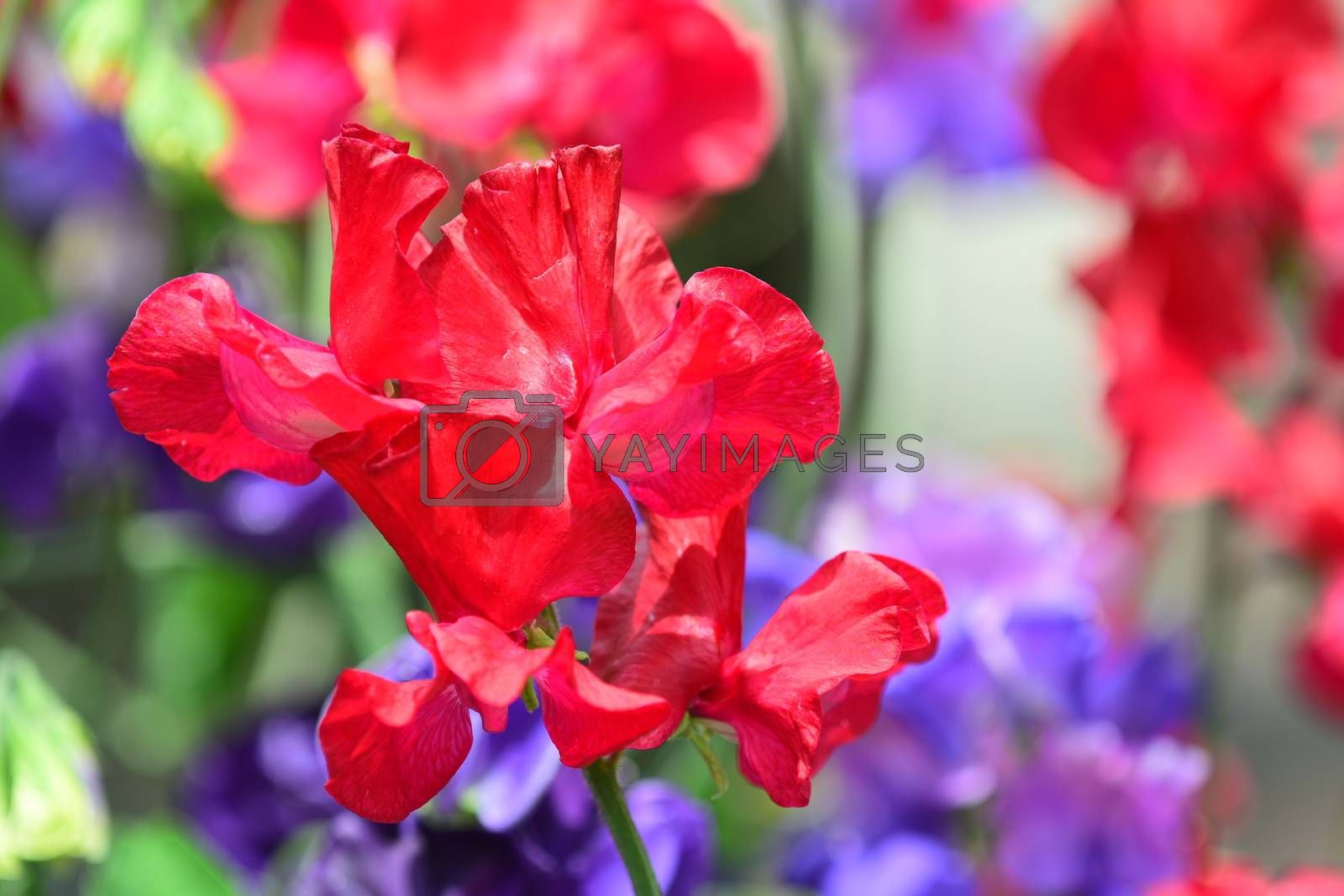 Sweet pea is an annual climbing plant, grown for their flower colour (usually in pastel shades of blue, pink, purple and white, including bi-colours), and for their intense unique fragrance.