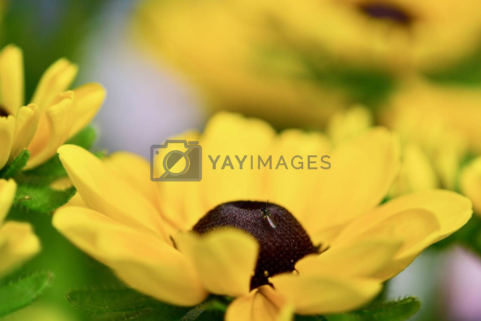 Black-eyed Susan is a tried-and-true favorite of the perennial garden, well-loved for its deep, butterscotch-yellow ray flowers