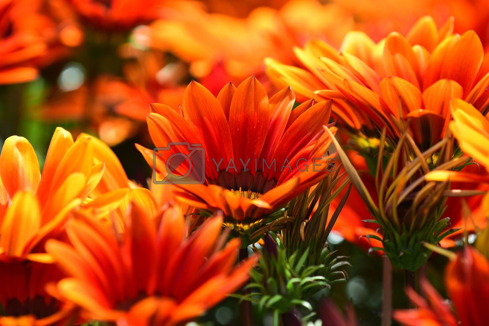 Close-up of a flower, beautiful flowers, being close to nature, bringing nature close to you, flowering African daisy
