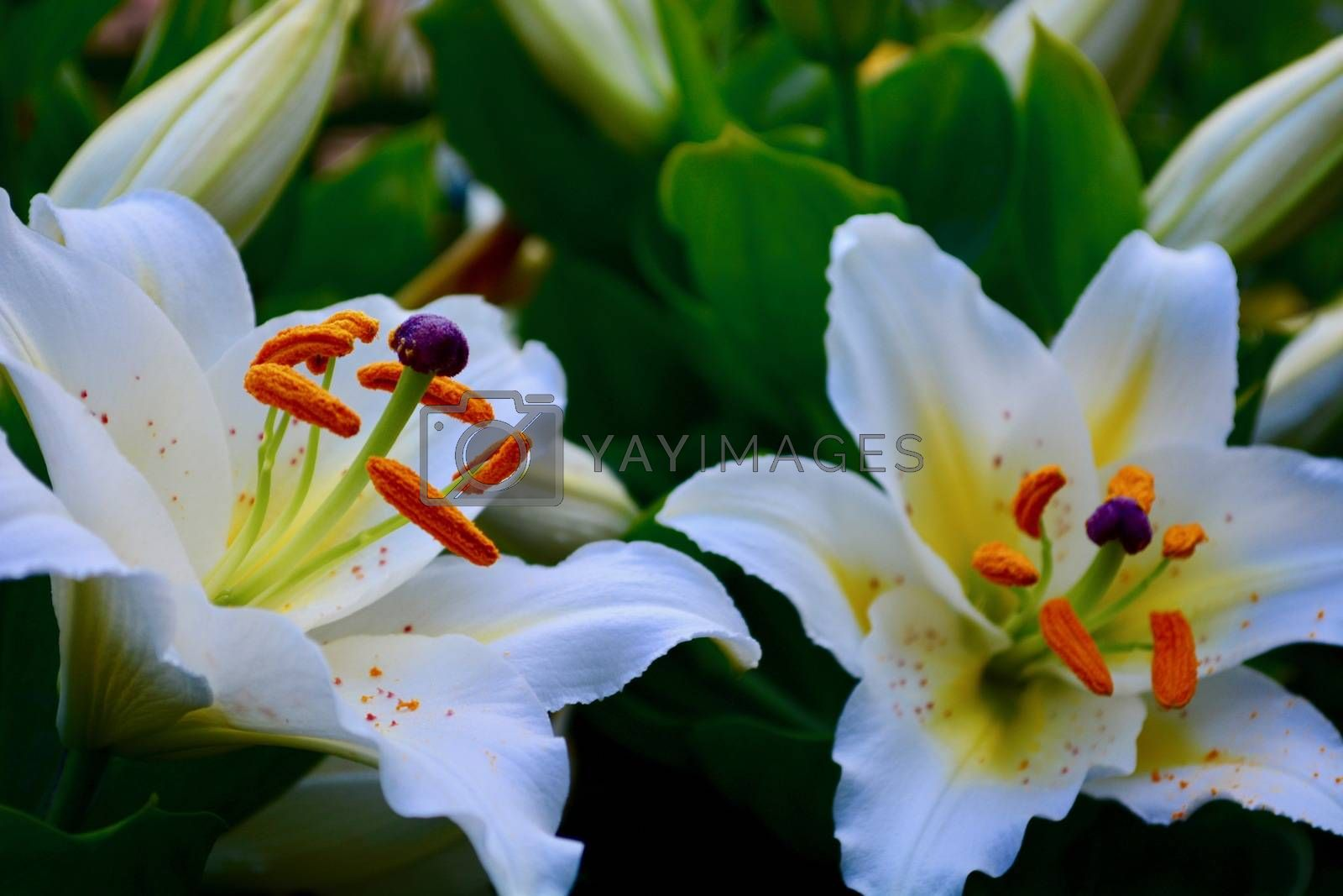 Close-up of a flower, beautiful flowers, being close to nature, bringing nature close to you, white Lily flower, elegance