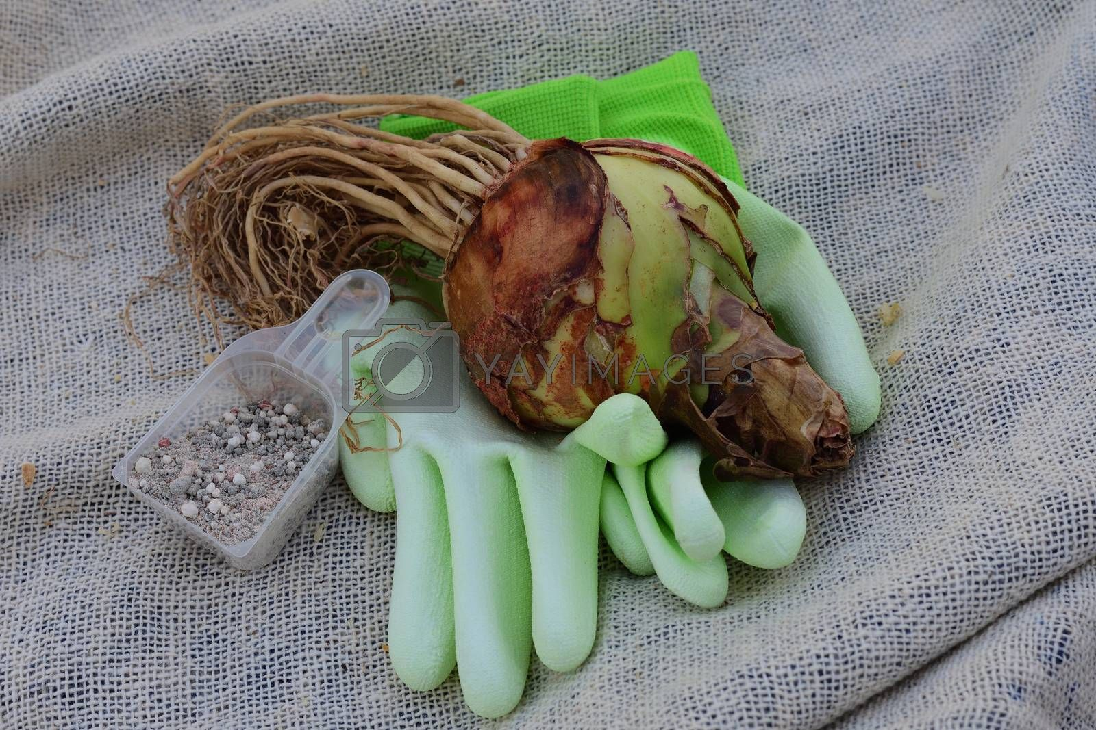 premium quality Amaryllis (Hippeastrum) bulb and garden accessories