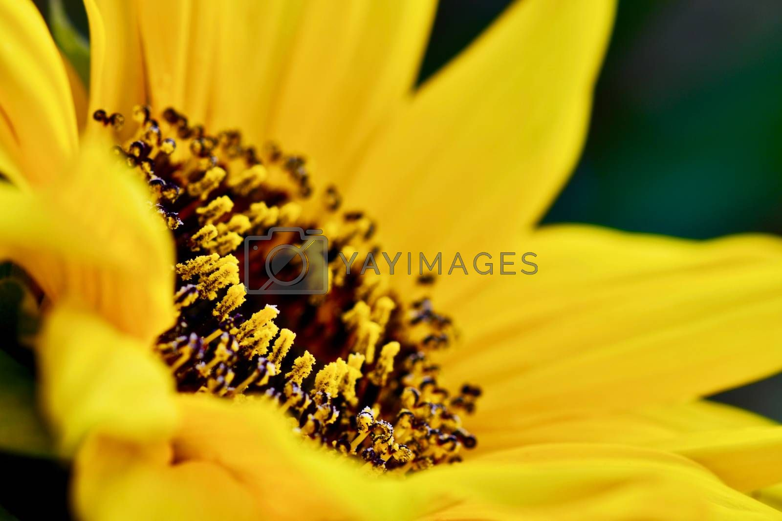 A lovely bright yellow flower; cheerful and nice sunflower