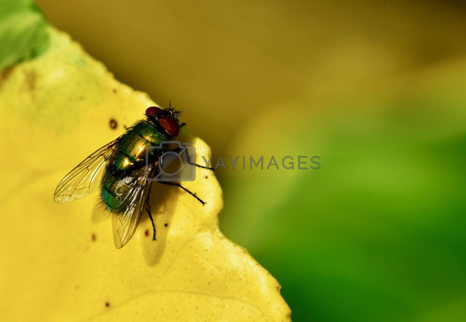 Blowfly are slightly larger than houseflies but resemble them in habits.