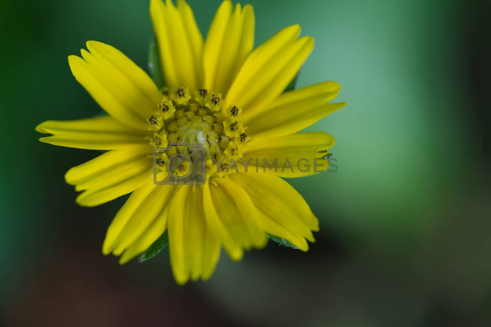 Yellow flowers, black background, green, beautiful petals, bright, cheerful, lively The area for text on the right, copy area, focus on pollen and background blur.