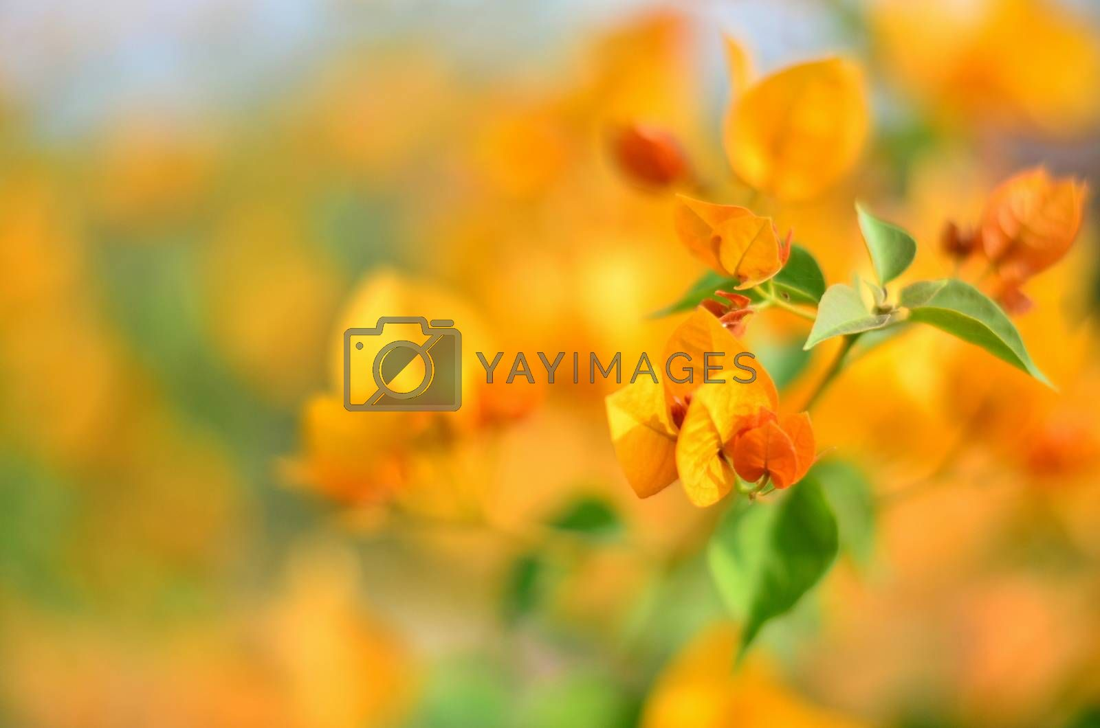 Orange Bougainvillea flowers standing out against the backdrop of a garden in India
