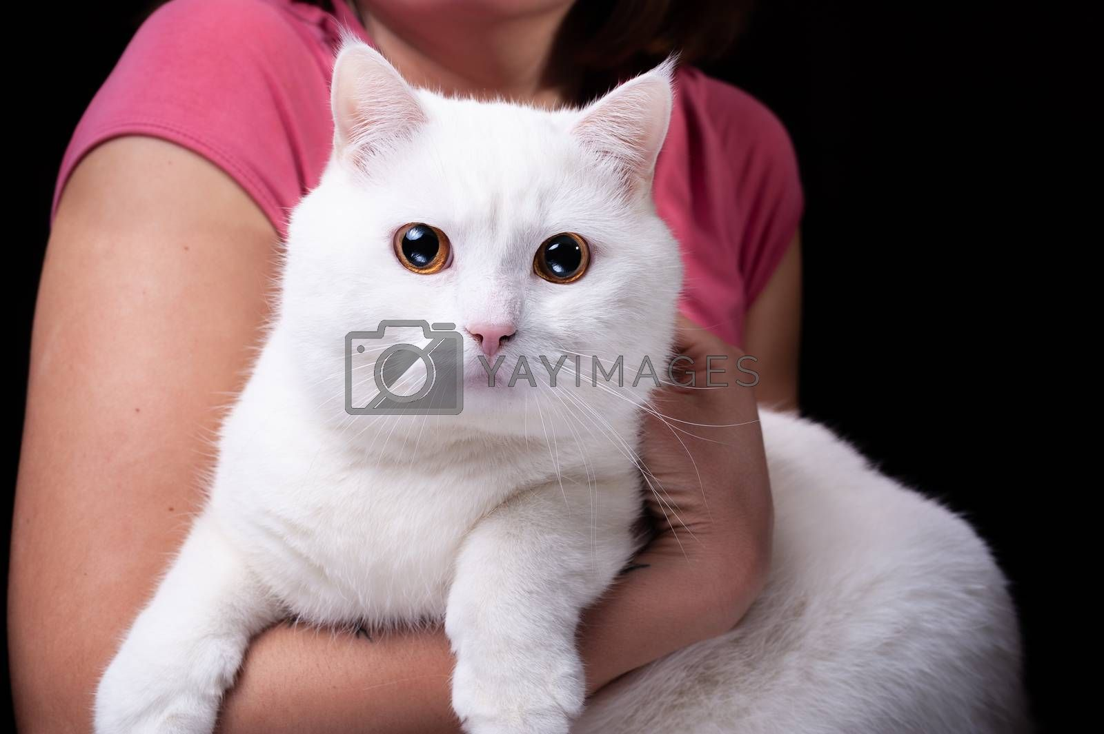 portrait of a beautiful big fluffy white domestic cat who is sitting on human hands on an isolated black background