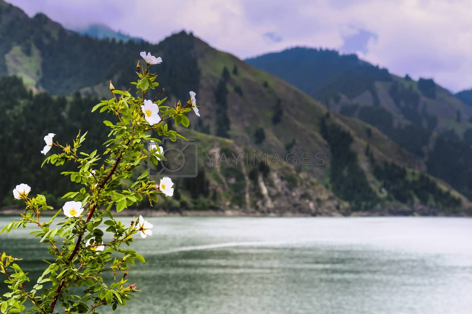 White alpine poppy flowers growing at the banks of Tianchi Lake in Xinjiang, China