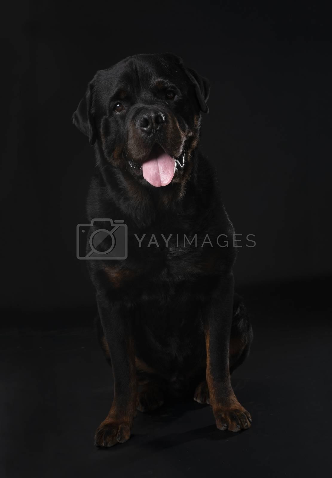 purebred rottweiler in front of black background