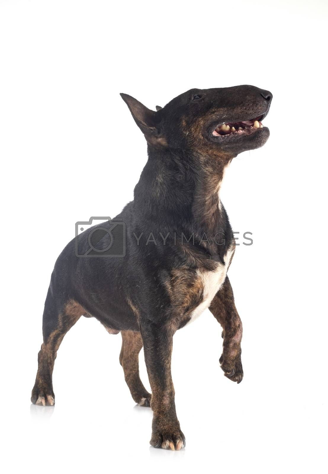 miniature bull terrier in front of white background