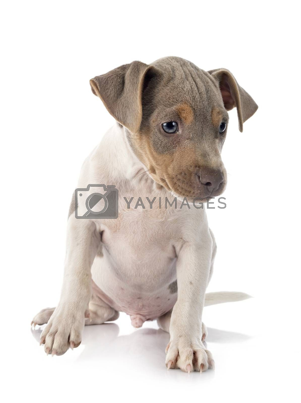 puppy brazilian terrier in front of white background
