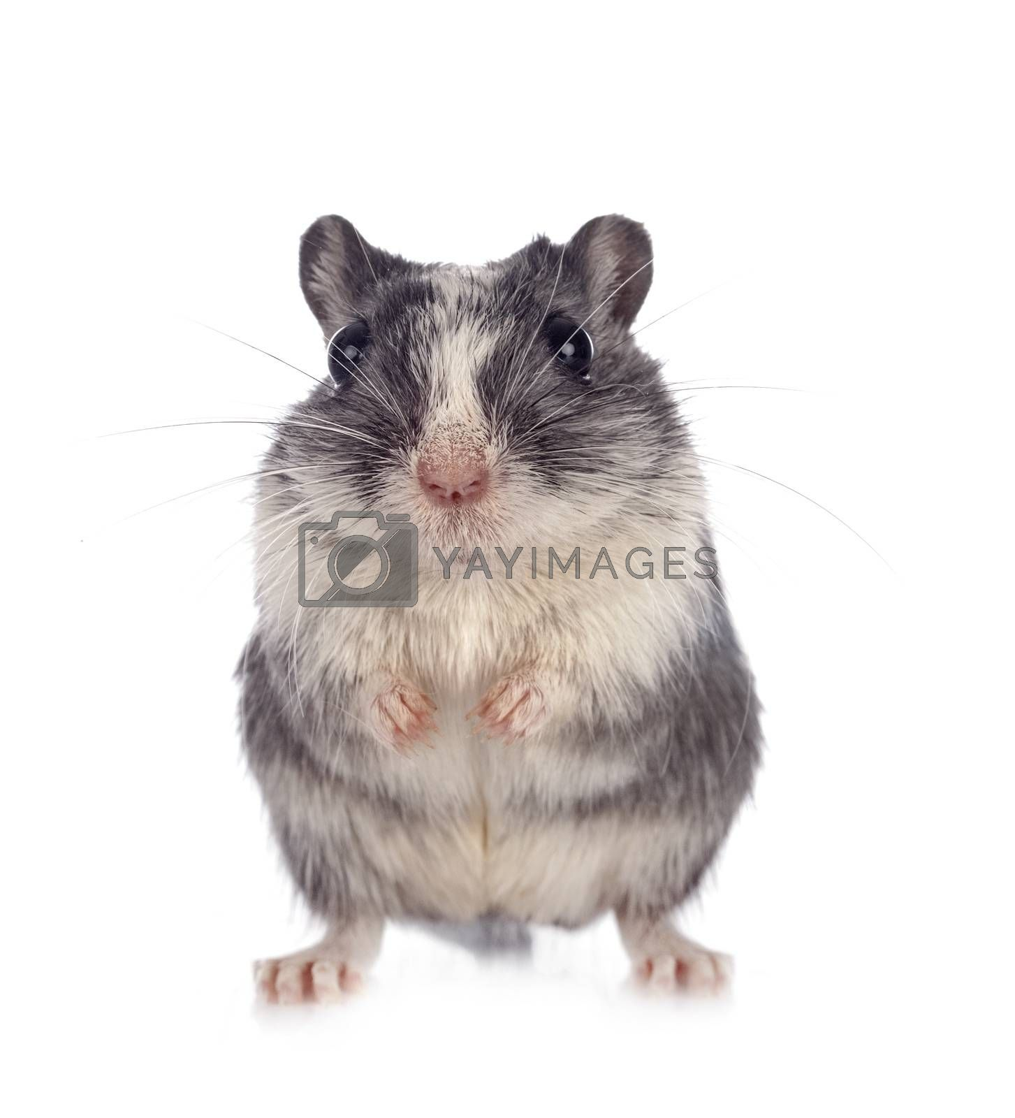 young gerbil in front of white background