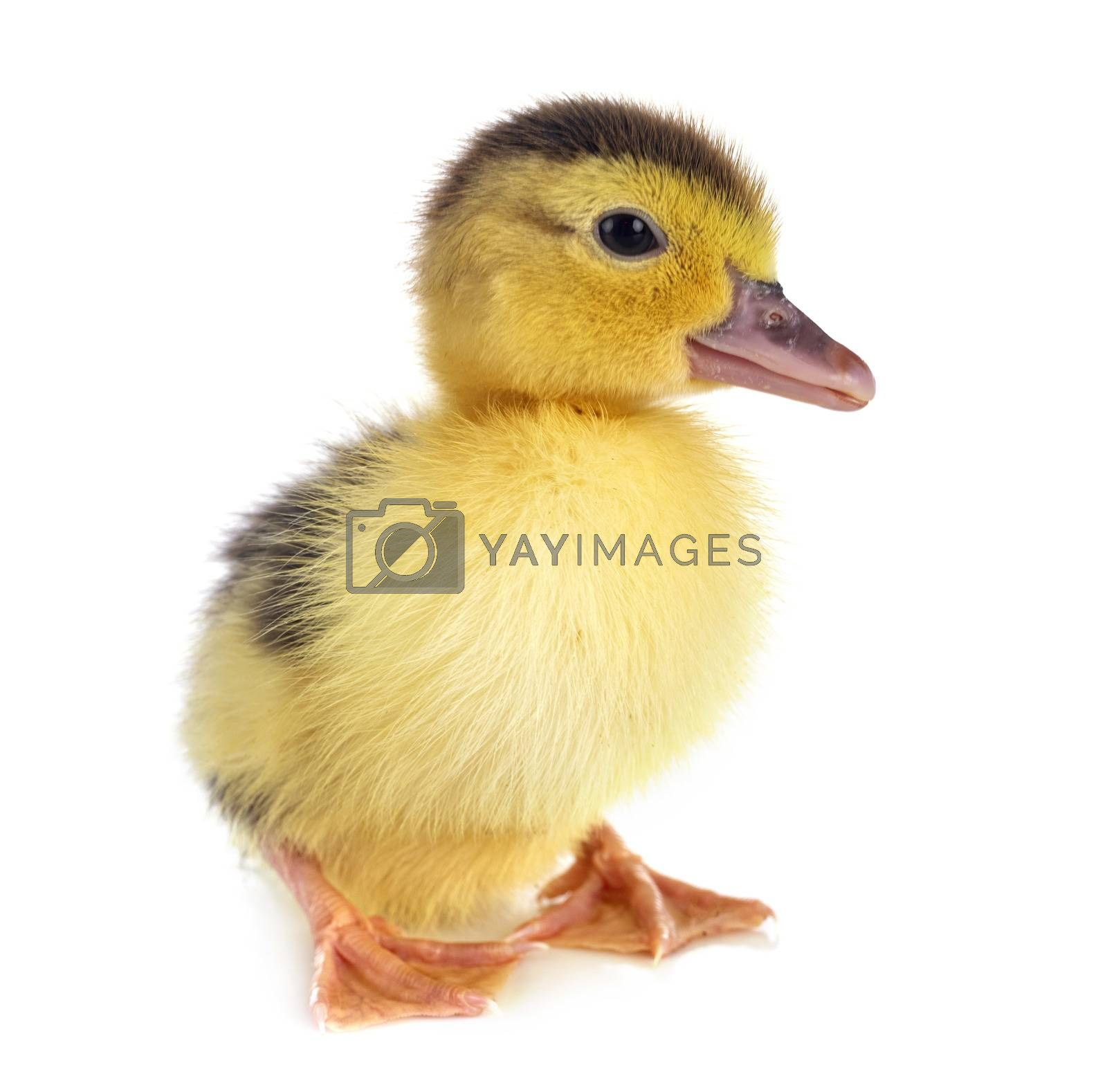 young duckling in front of white background
