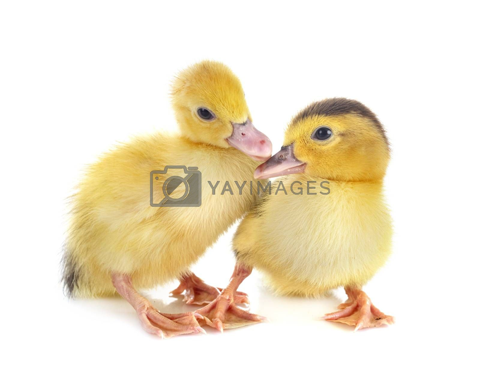 young ducklings in front of white background