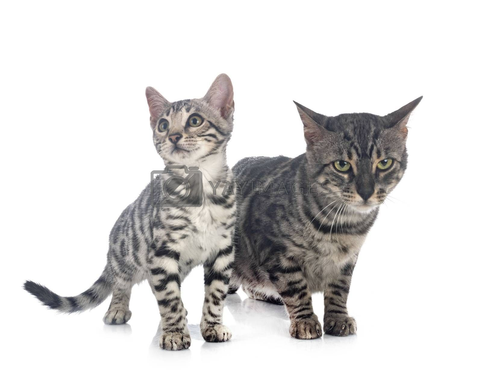 bengal cats in front of white background