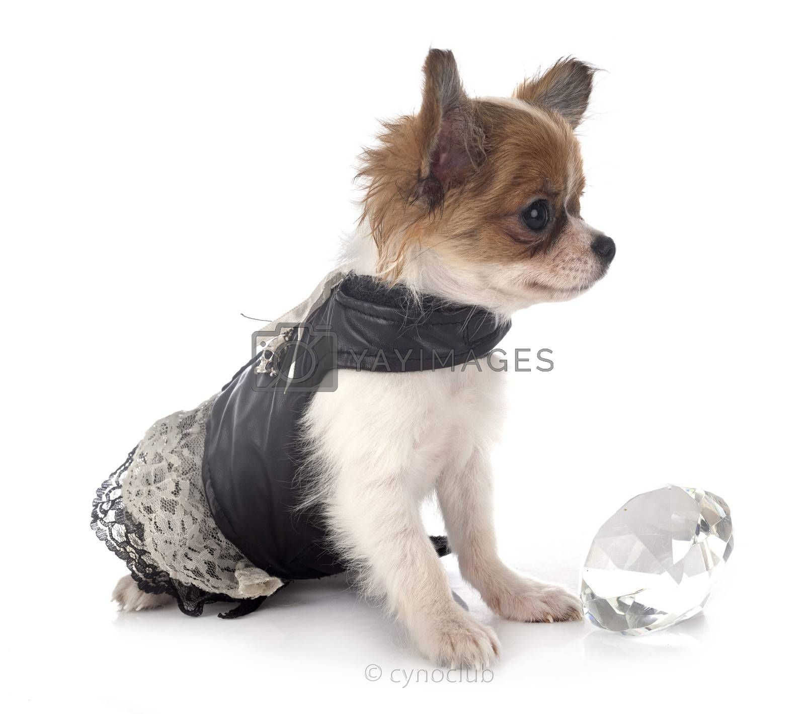 little chihuahua in front of white background