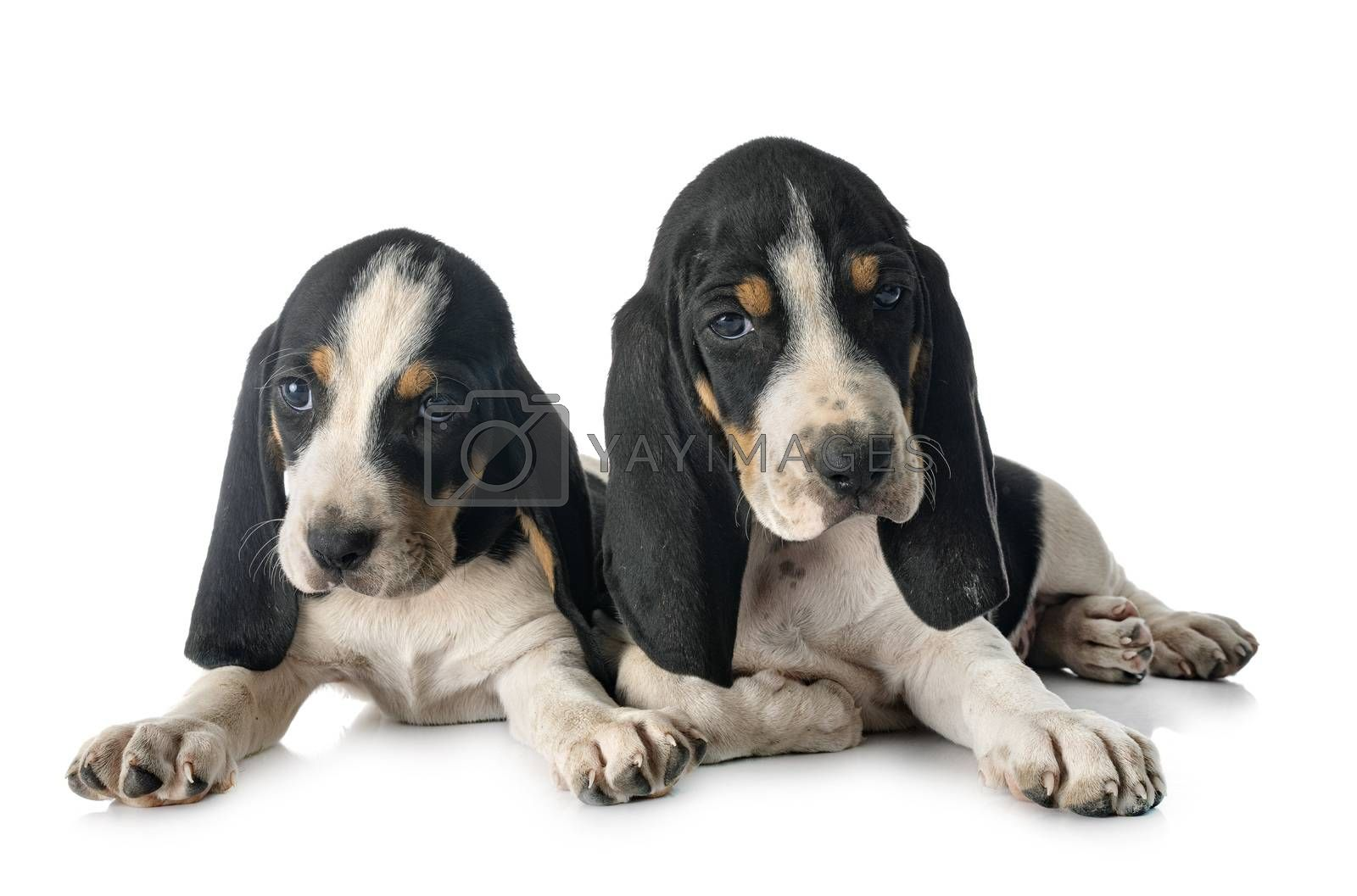 puppies bernese Schweizer Laufhund in front of white background