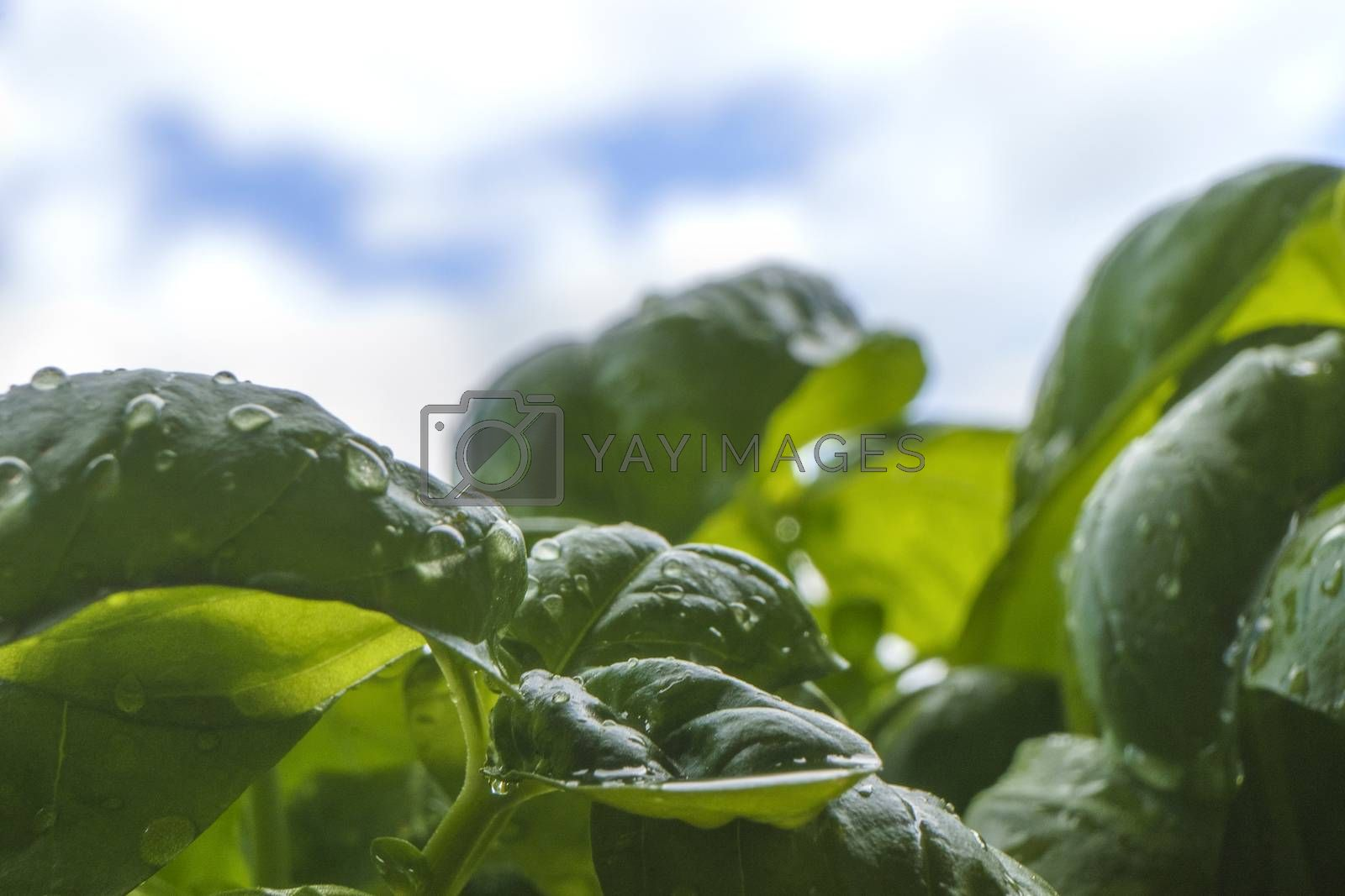 Macro close up of basil plant leaves in backlight on blue sky with white cloud in background