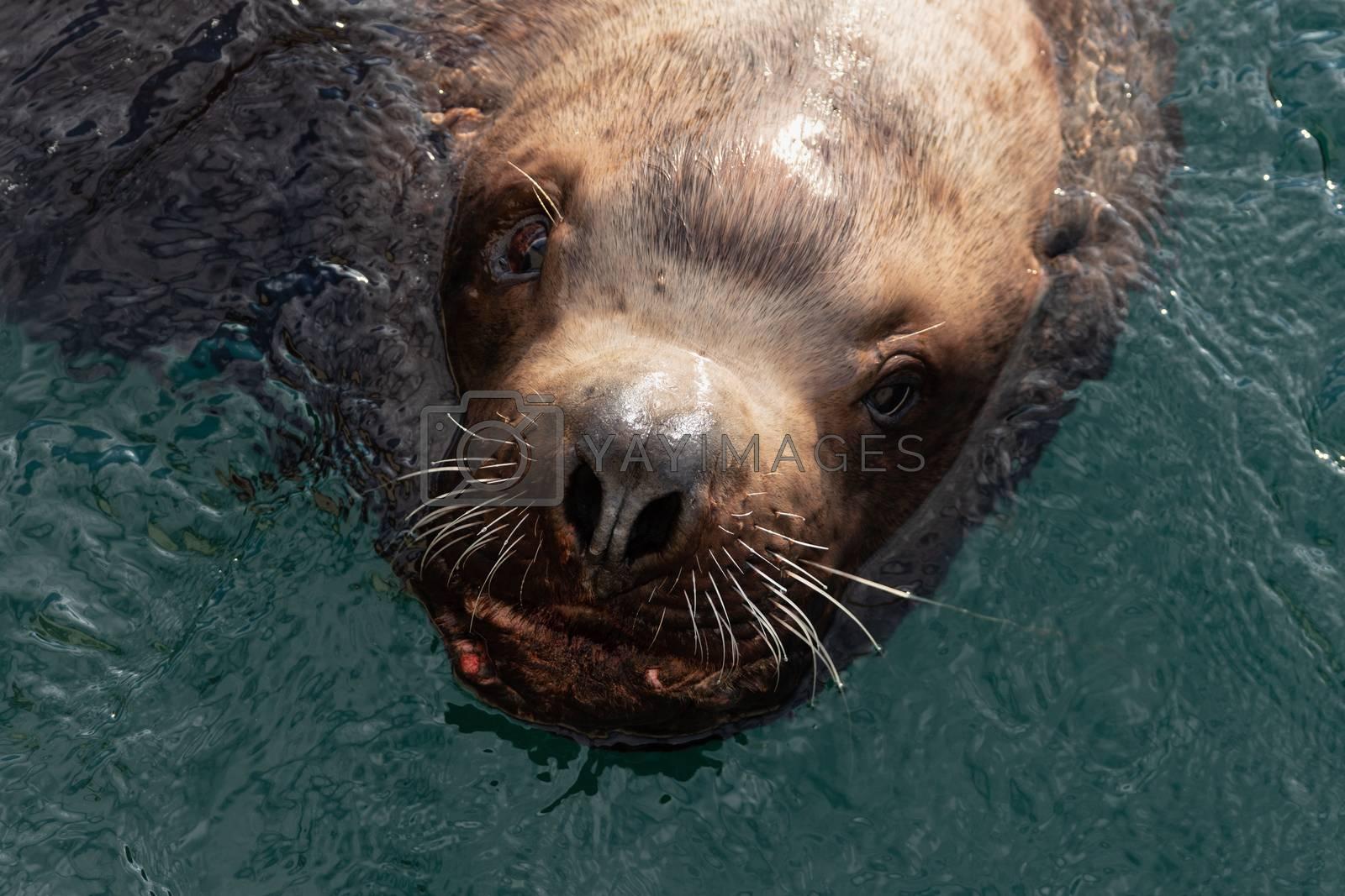 Portrait of wild sea animal Steller Sea Lion or Northern Sea Lion (Eumetopias Jubatus) swims in cold waves Pacific Ocean. Eurasia, Russian Far East, Kamchatka Peninsula, Avachinskaya Bay.