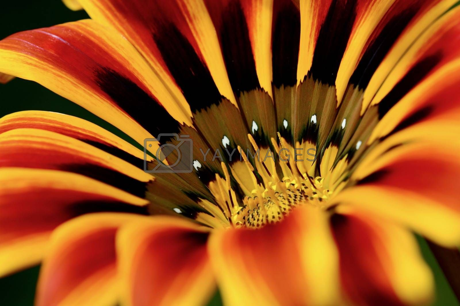 close-up photo of a flower; beautiful flowers, being close to nature, bringing nature close to you, Gazania flower