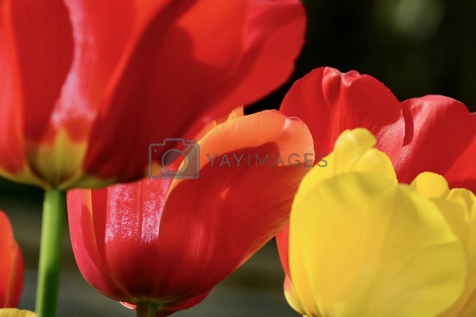 Close-up of a flower, beautiful flowers, being close to nature, bringing nature close to you, red and yellow tulip flowers