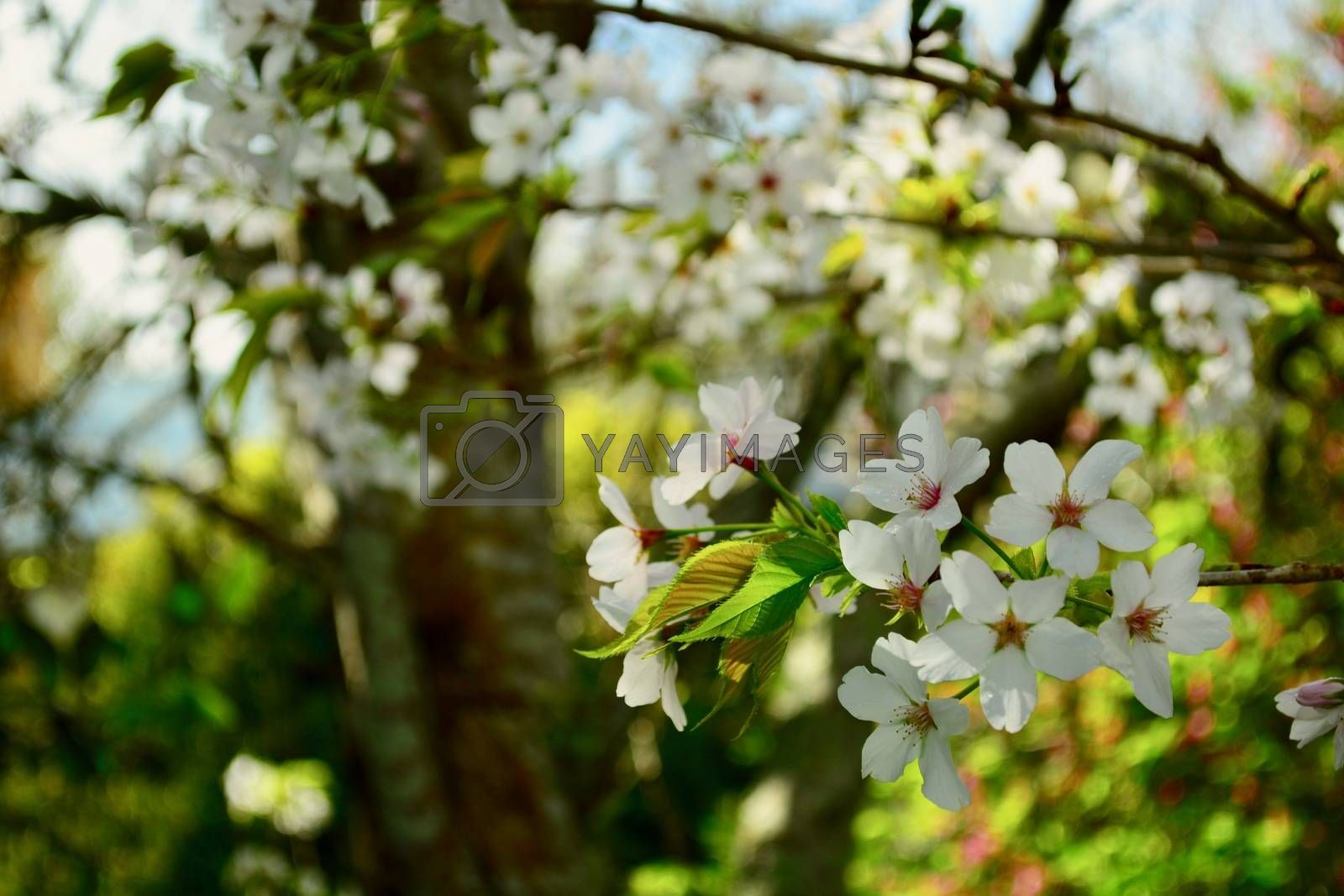 Flowering apple tree; beautiful sign of spring and promise of a good crop