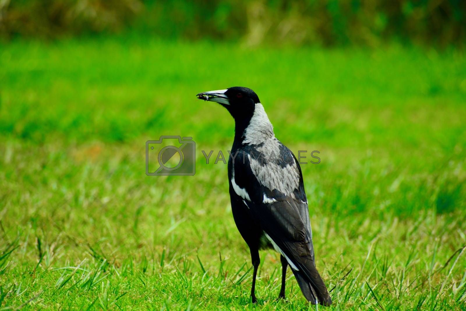 Australian magpies mainly feed on invertebrates, taken mostly from the ground.