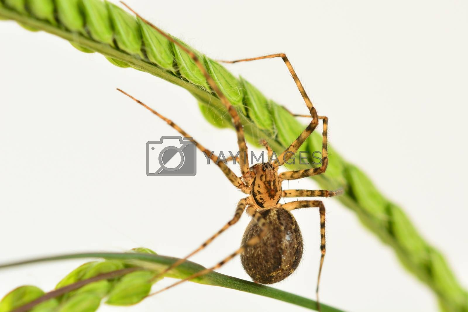 Common house spider, the most common spider in the world